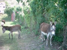 Donkeys at the path between Lesterre and the beach.