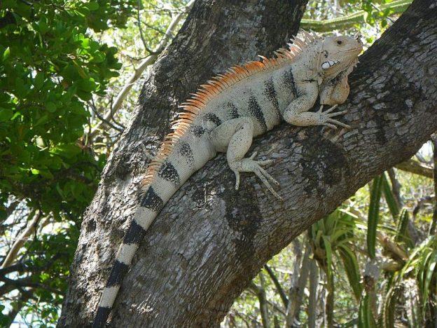 Tobago Cays Iguana.