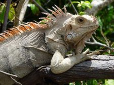 Iguana in the trees on Carriacou Island.