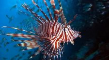 Lionfish are an undesired species.