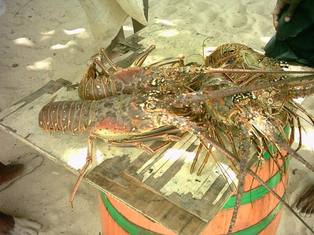 Lobster getting ready for the cooking pot.