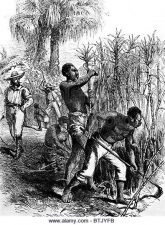 African slaves working on sugar cane fields in the Caribbean.
