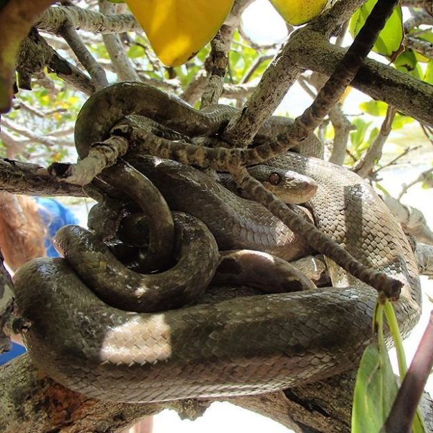 Tree boa on Carriacou island.