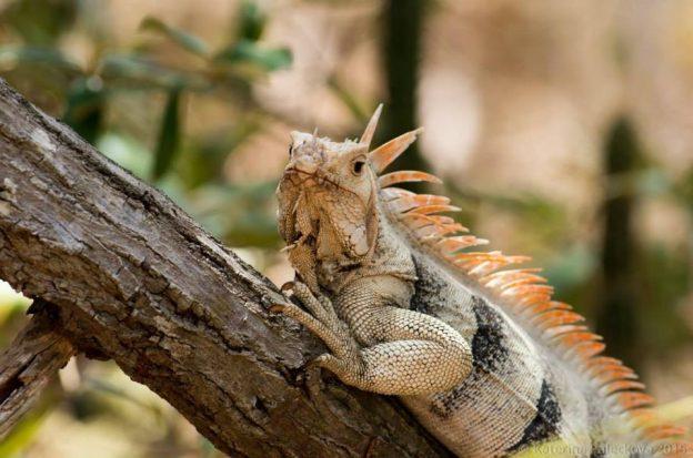 Iguana on Grenada.