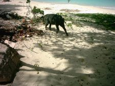 Pig on the beach of Carriacou.