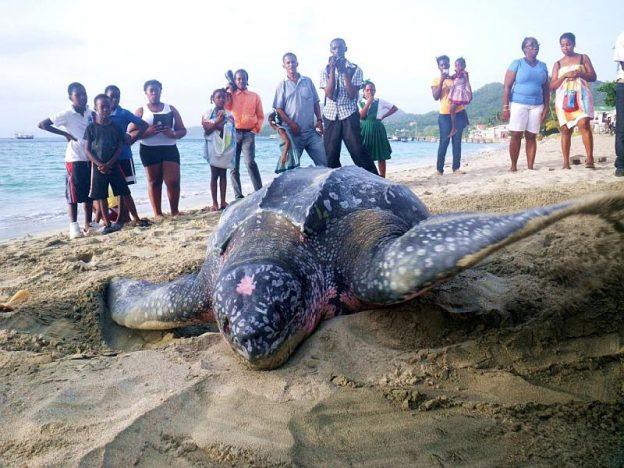 Turtle on Carriacou beach.