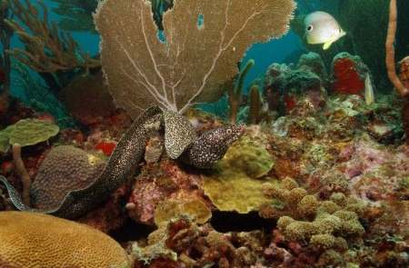 Carriacou diving moray eels and seafans.